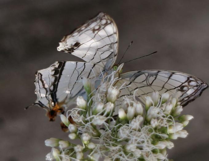 フジバカマの蜜を吸う蝶 横 28.10.12