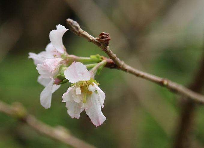 爺神山に小さい桜10月に 28.10.13