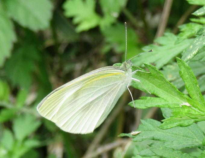 白い蝶 大 28.10.26