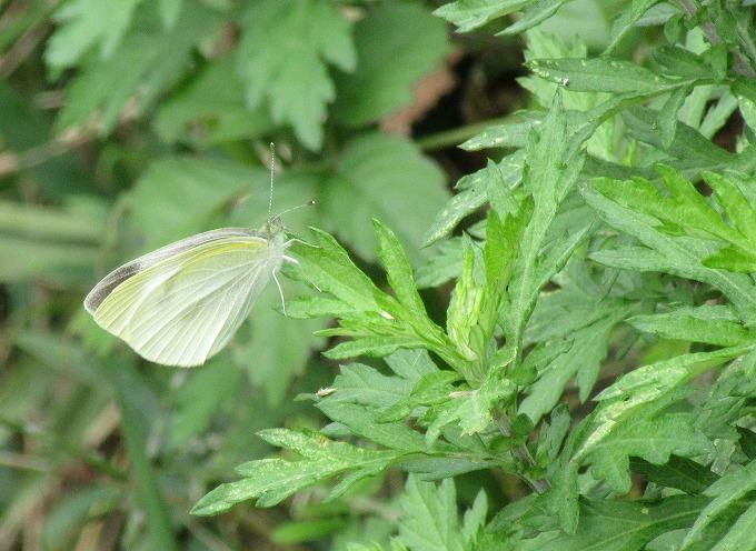 白い蝶 小 28.10.26
