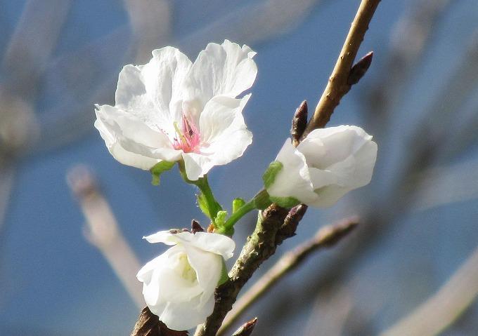 桜 染井吉野 アップ 28.10.27