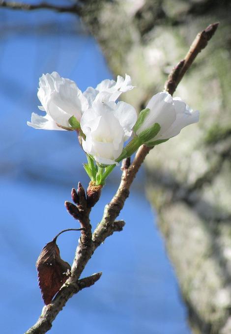 ソメイヨシノ太い樹と 28.10.27