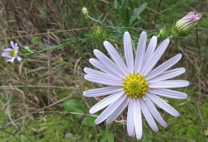 ノコンギク 蕾と花と 爺神山 28.10.29