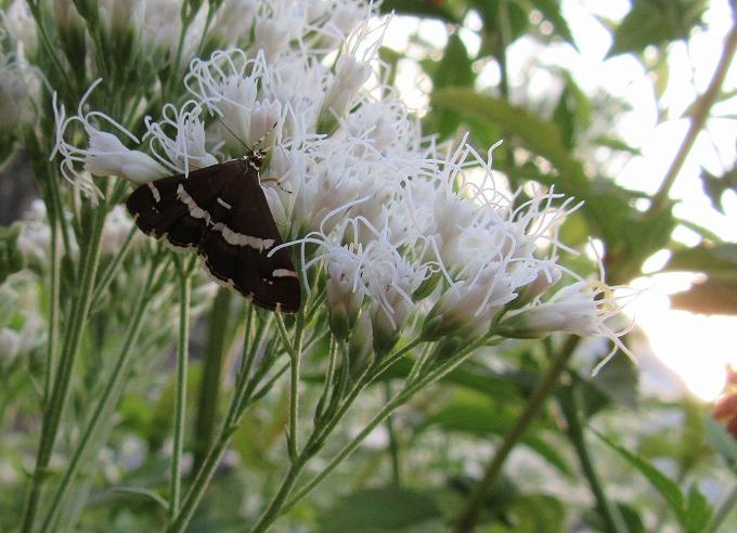 藤袴白色花と黒い蝶 28.11.1