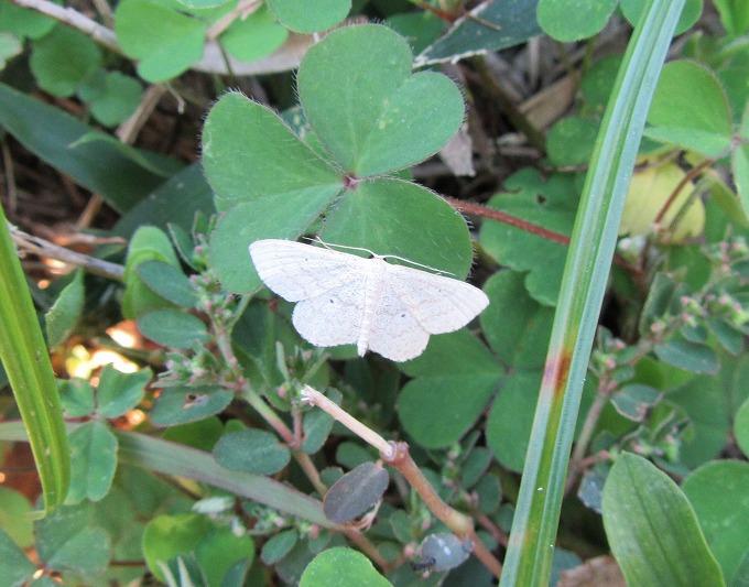 フヨウカタバミの葉に白い蝶 28.11.1