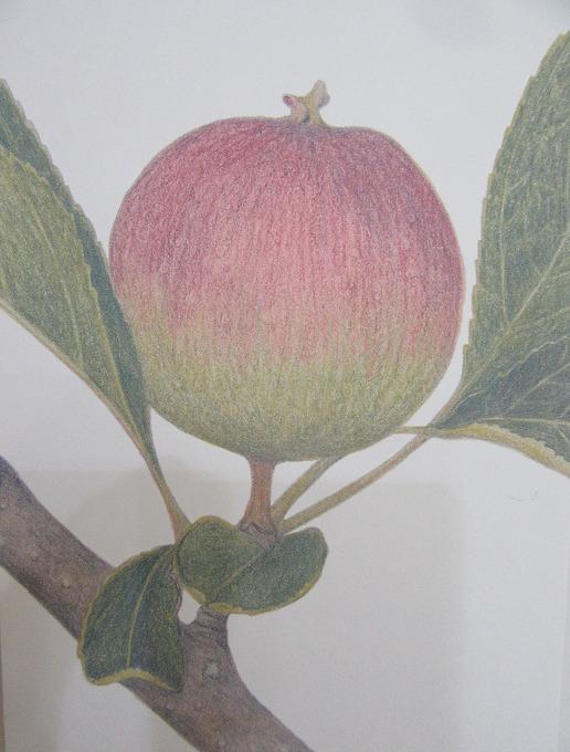 リンゴの話 リンゴの絵 28.11.6