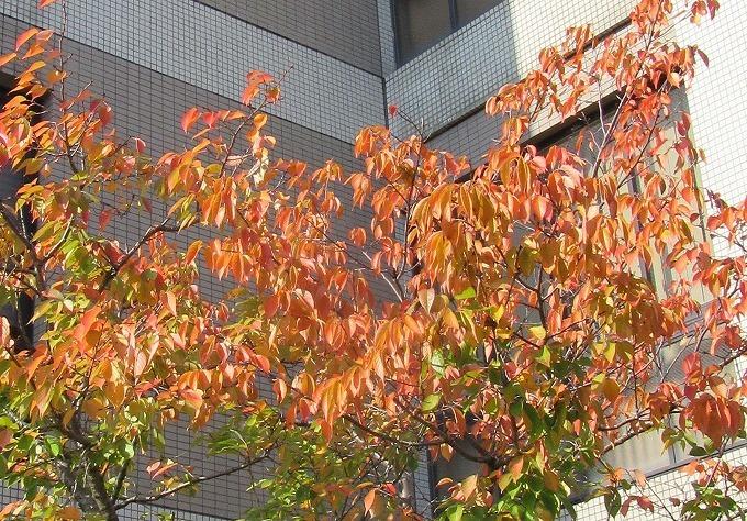 桜が紅葉 朝から夕方までここ 28.11.7
