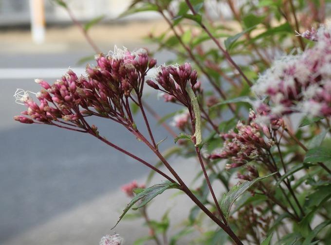 桃色藤袴の花と白い虫 28.11.13