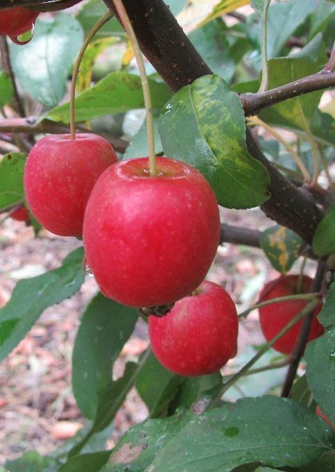 小さい林檎を大きく撮る(道面で) 28.11.14