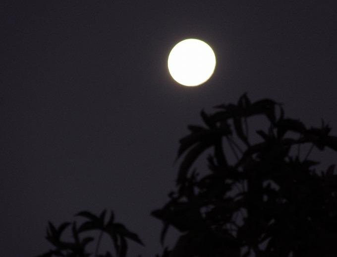 大きい月とフウの木 28.11.15
