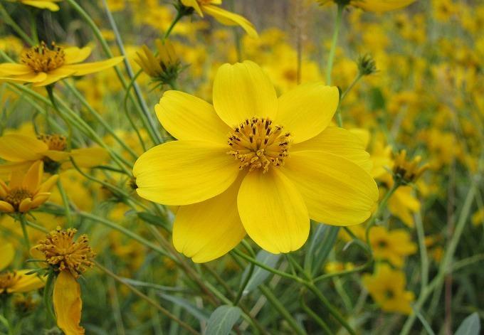 黄色い花いっぱい 28.11.13