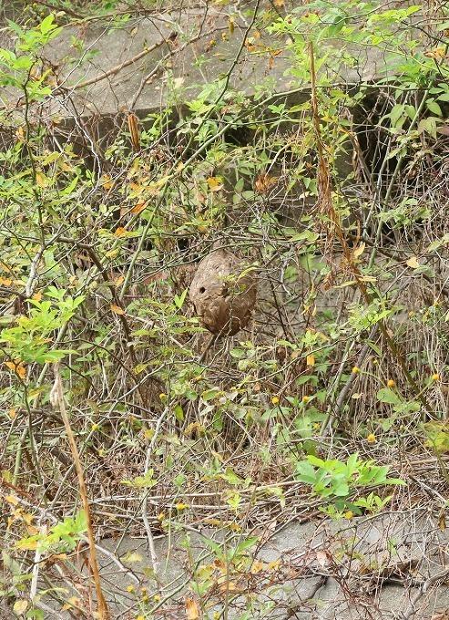 スズメバチの巣見付け 28.11.15
