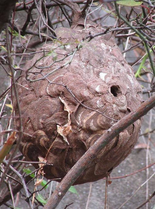スズメバチの巣 縦 28.11.15