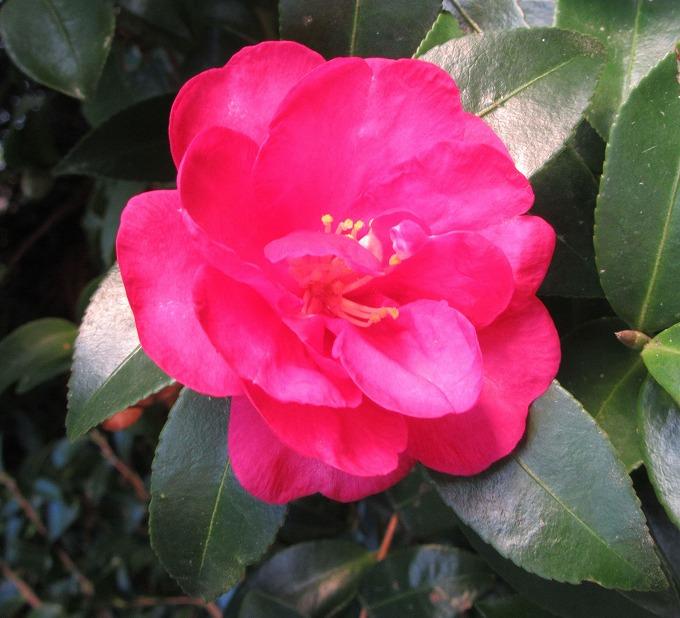 山茶花も咲いて 28.11.22