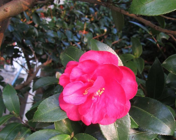 山茶花咲いて冬かな 28.11.22