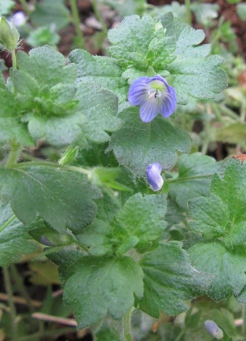 オオイヌノフグリ小さい花 28.11.21