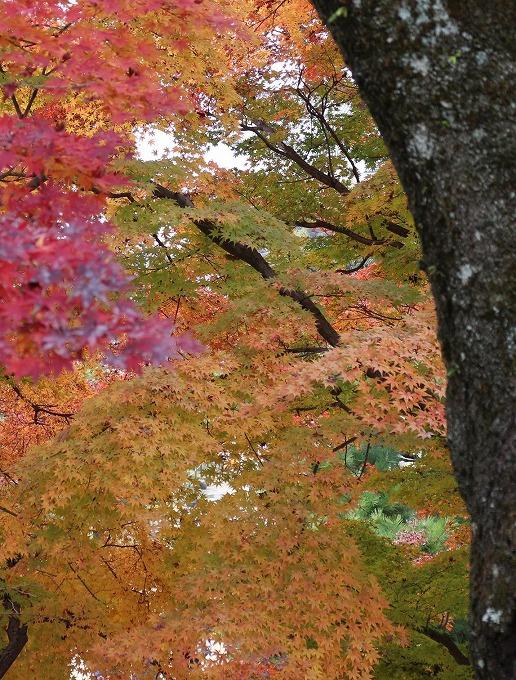 楓 木と紅葉 縦 28.12.1