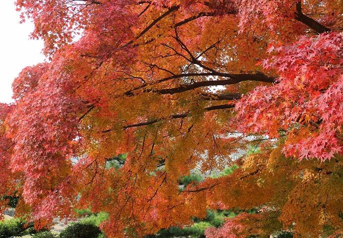 楓 横 赤と橙 28.12.1