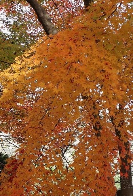 楓 縦 橙一色 28.12.1