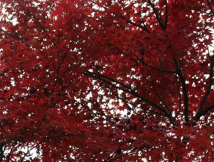 楓 深紅 横 28.12.1