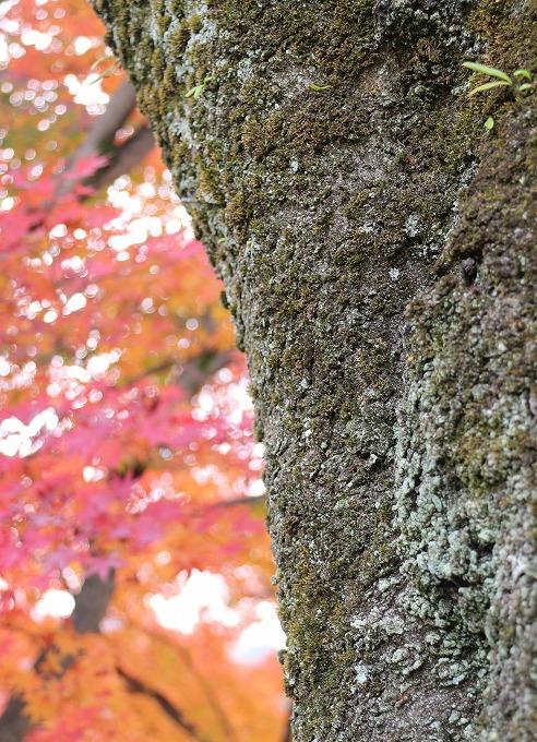 楓の樹 葉っぱボンヤリ 28.12.1