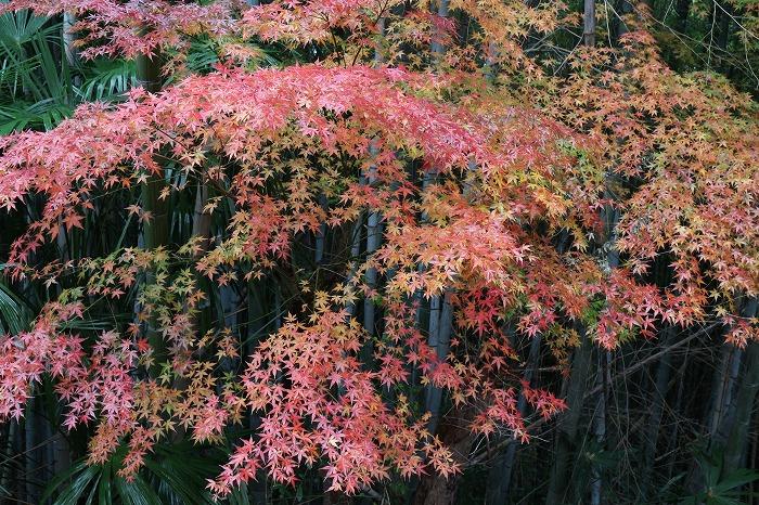楓の紅葉 緑と黄と赤と 28.12.26