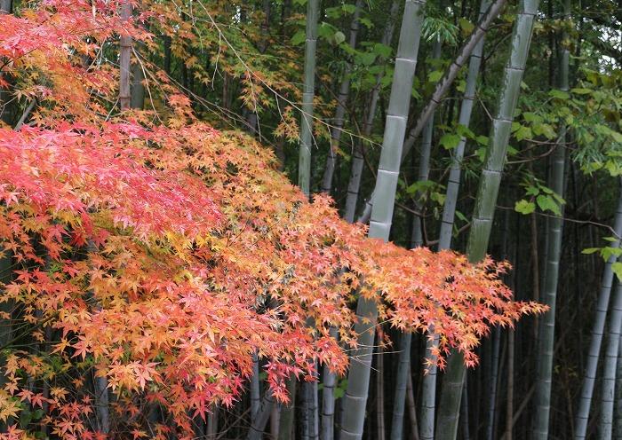 竹と紅葉と 28.12.26
