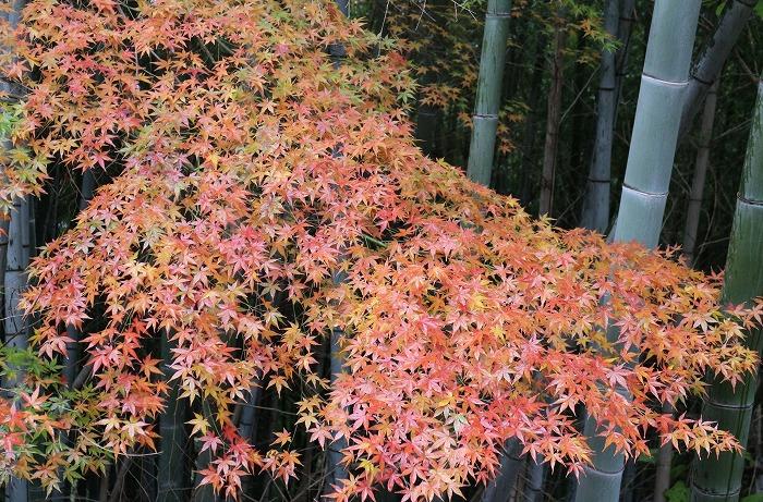 紅葉と竹と 28.12.26