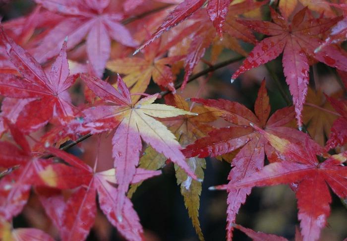 12月末の紅葉と雨と 28.12.26