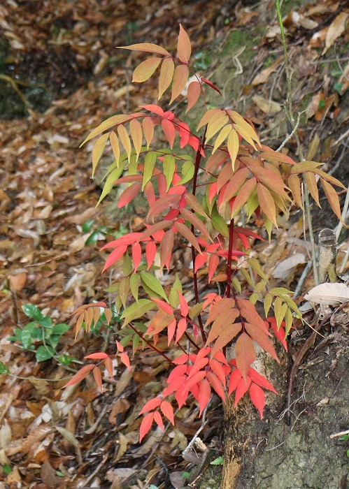 滝の下の木は綺麗に紅葉 28.12.27