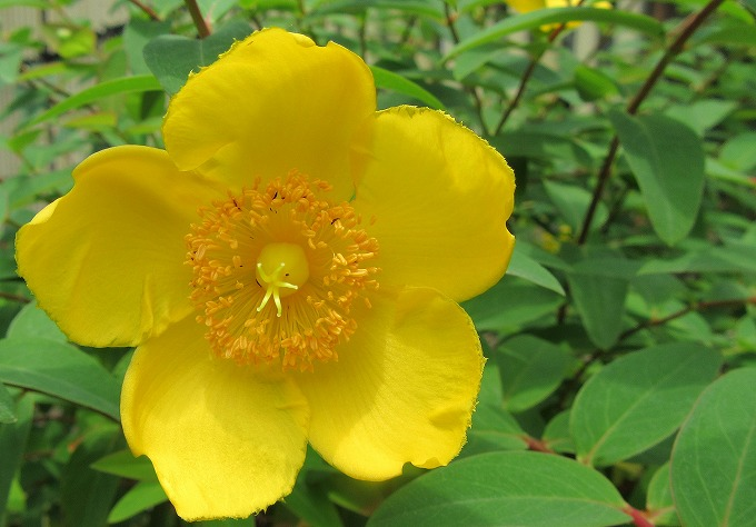 ビョウヤナギに似た花 28.6.1