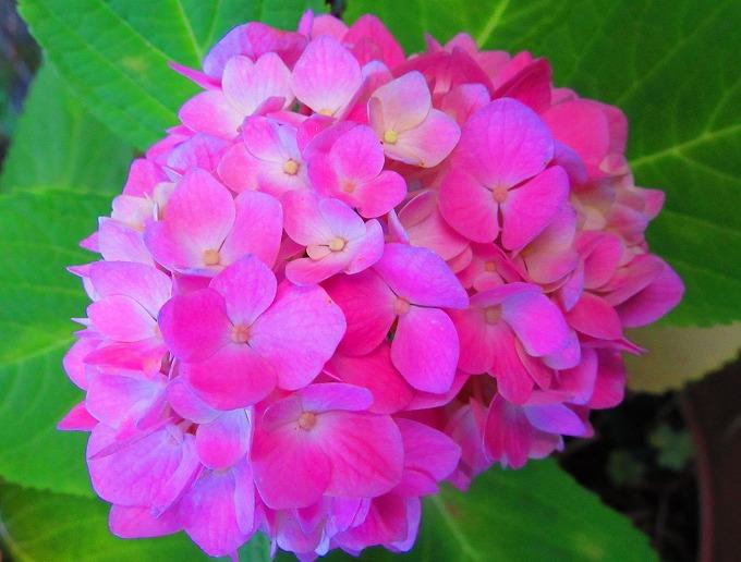 紫陽花花 ピンク 28.6.14