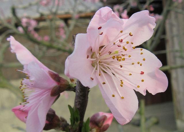 桃の花 3 28.4.17