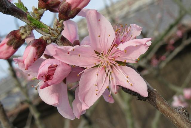 桃の花 2 28.4.17