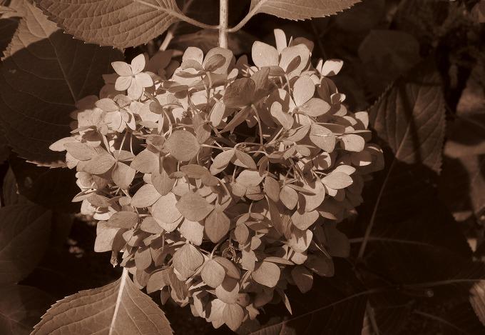 地蔵寺の紫陽花 セピア色 28.8.4