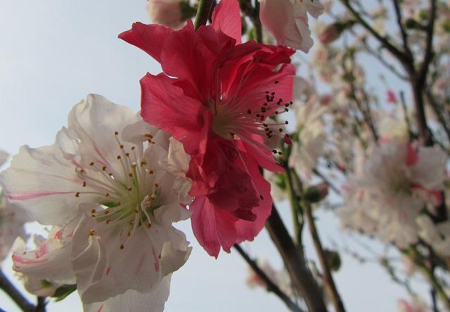 花桃赤と白 28.4.14