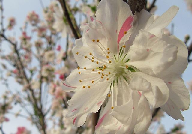 花桃 白色アップ 28.4.14