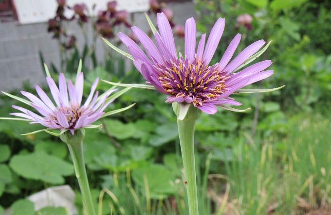 サラダゴボウ花 横 28.5.3