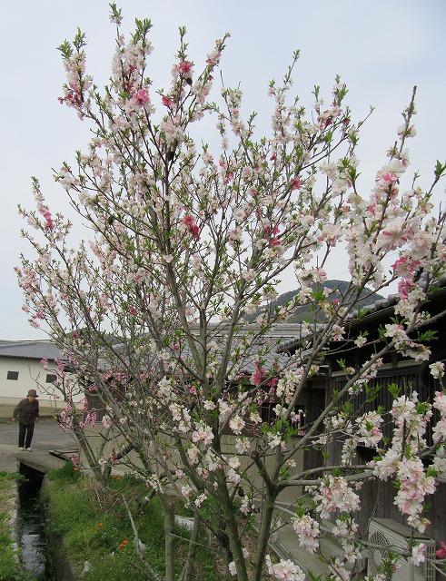 花桃の花と母と 28.4.14