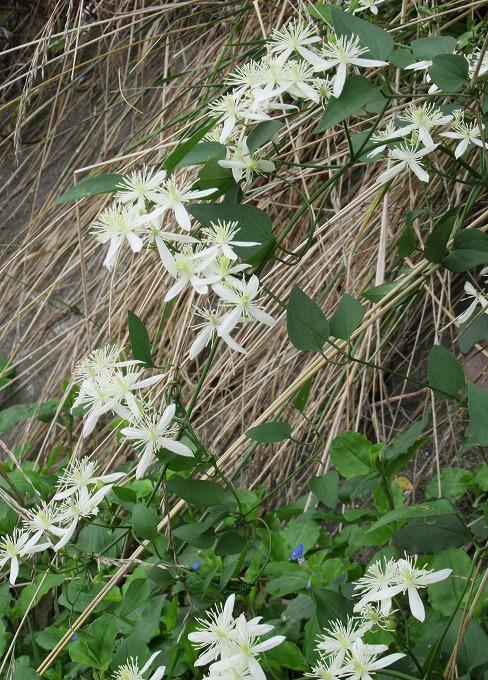 2週間位前から咲いてる仙人草 28.9.8