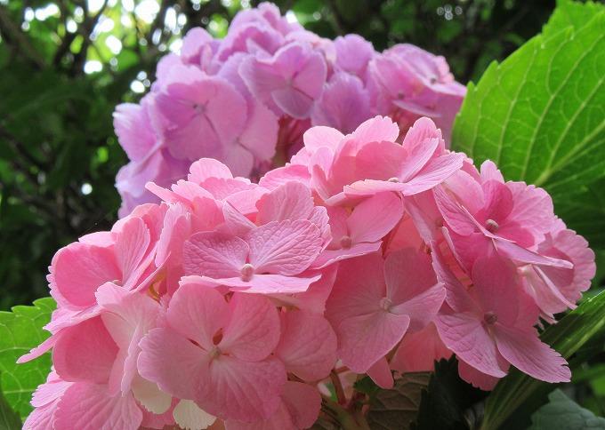 桃色紫陽花 28.6.15