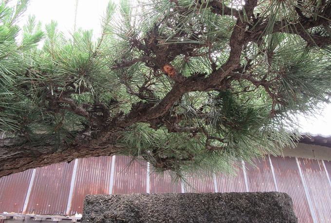 松の枝も伐って 28.6.9