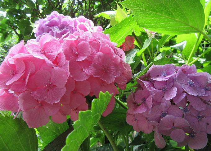 桃色紫陽花並んで 28.6.15