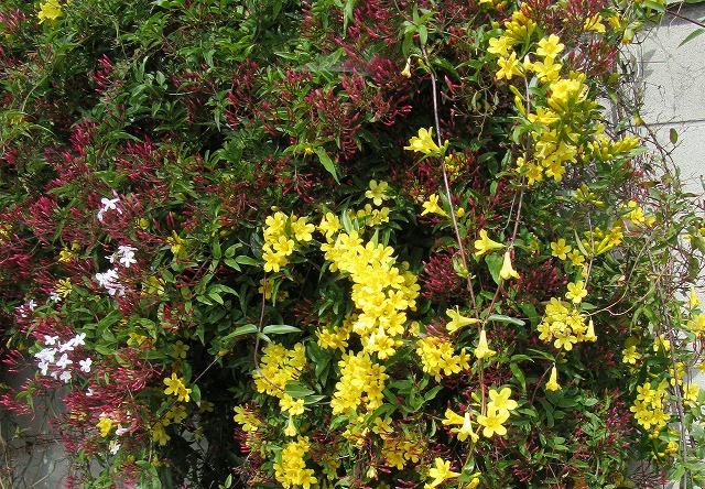 ジャスミンの花咲き始め 28.4.20