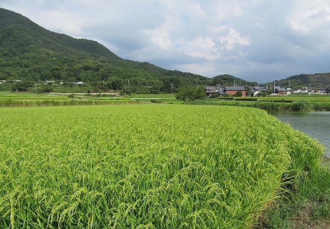 稲刈りも近付いてます 28.8.18