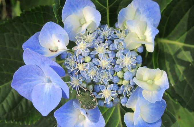 がく紫陽花 青色 咲き始め 28.6.15