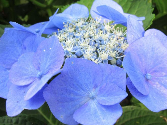 がく紫陽花 花 満開 28.6.15