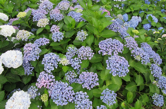 紫陽花の花いっぱい 28.6.15