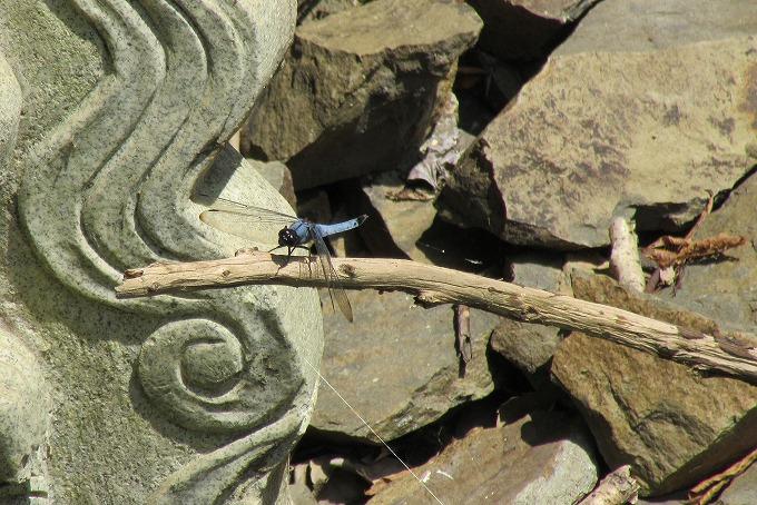 青い大きいトンボ不動の滝 28.8.18