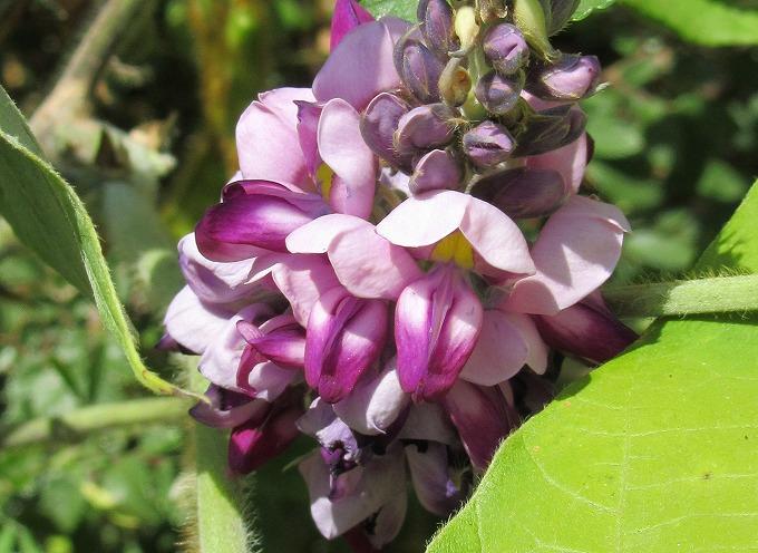 クズの花 横 28.8.28